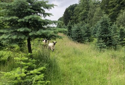 Rasenmäher Shropshire-Schafe